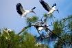 Wood-Stork Squabb...