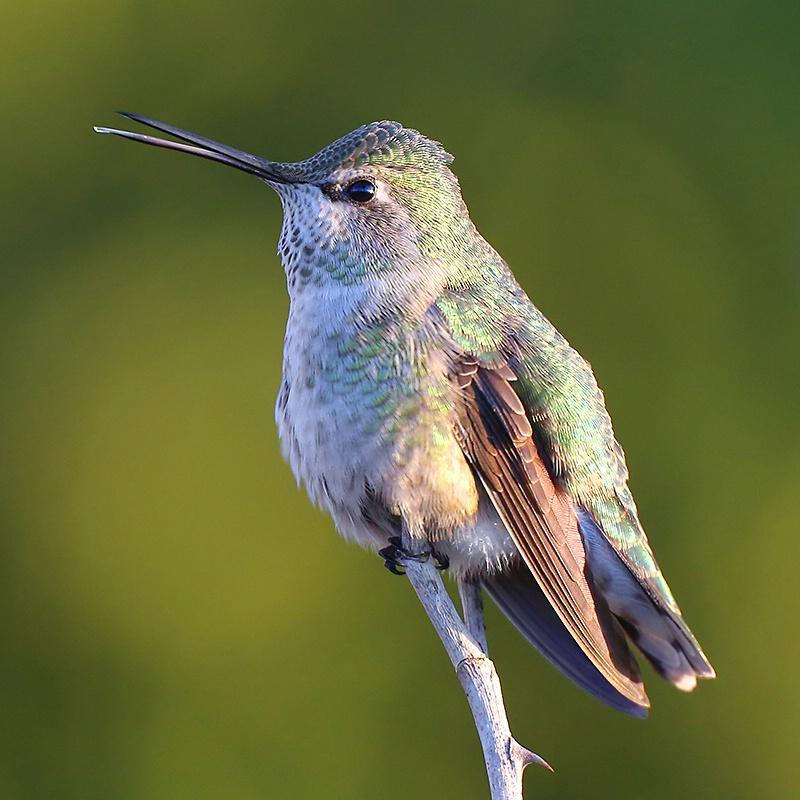 Singing Anna's Hummingbird