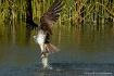 Osprey Haul Away