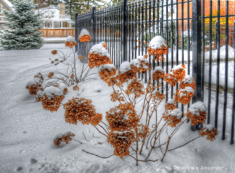 Hydrangeas in Winter