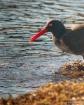 Black Oystercatch...