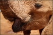 Elephant Lips