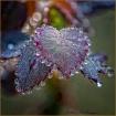 Dewy Rose Leaf