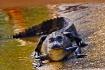Starter Gator