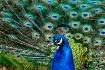 Peacock showing o...