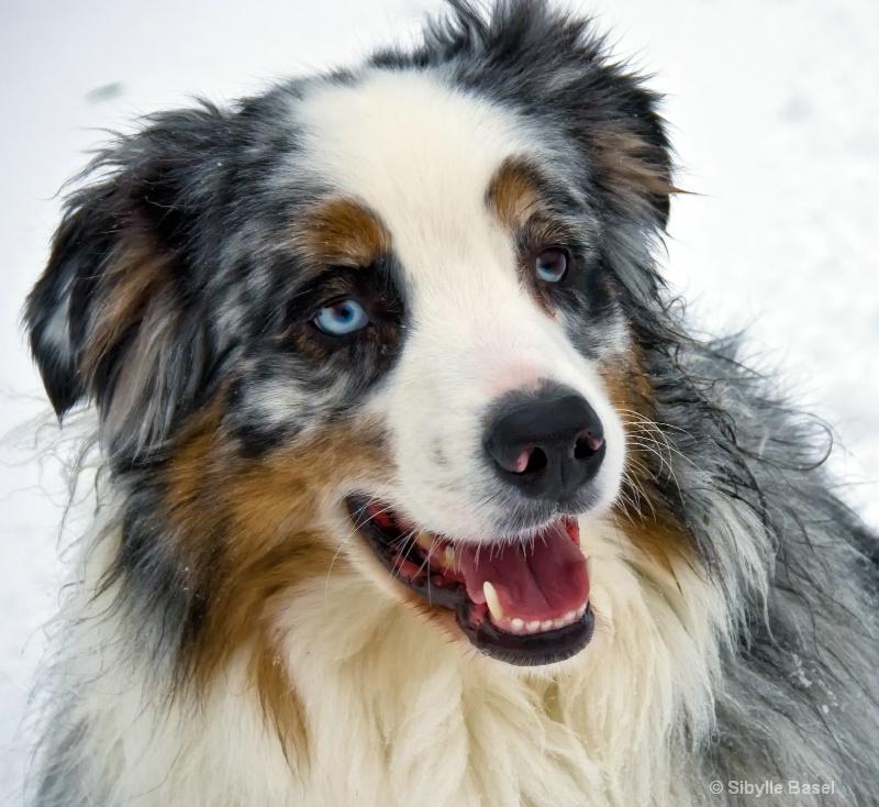Snowy Aussie - ID: 13670866 © Sibylle Basel
