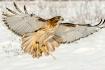 Hawk, flight, Ont...