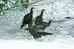 Winter Turkeys