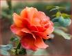 Hybred Tea Rose