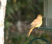 Summer Tanager - ...