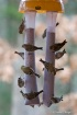 Goldfinches and P...