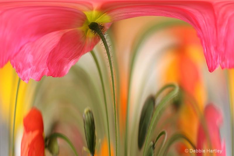Poppy - ID: 13708673 © Debbie Hartley