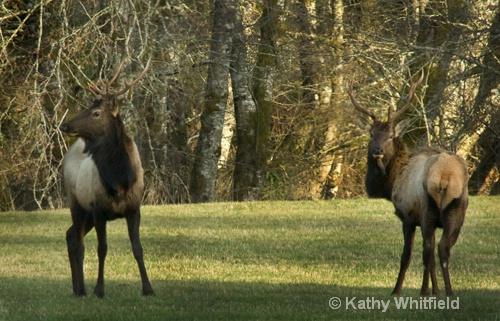 Elk 1 Chehalis, WA - ID: 13721687 © Kathy K. Whitfield