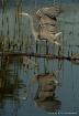 Heron in Reflecti...
