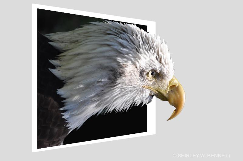 BALD EAGLE - ID: 13732653 © SHIRLEY W. BENNETT