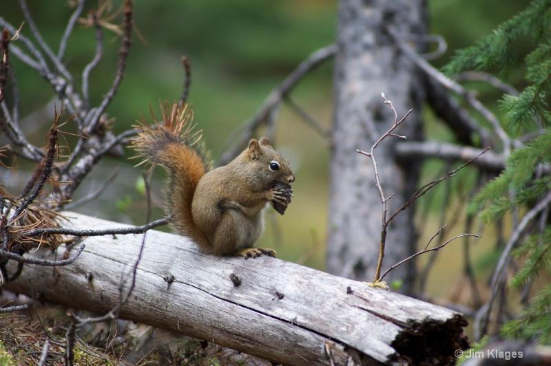 Red Squirrel - ID: 13742608 © Jim Klages