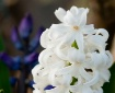 Morning Hyacinths...