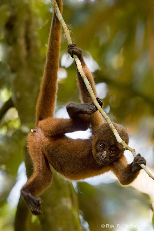 Jucenile Wooly monkey - ID: 13743957 © Ravi S. Hirekatur