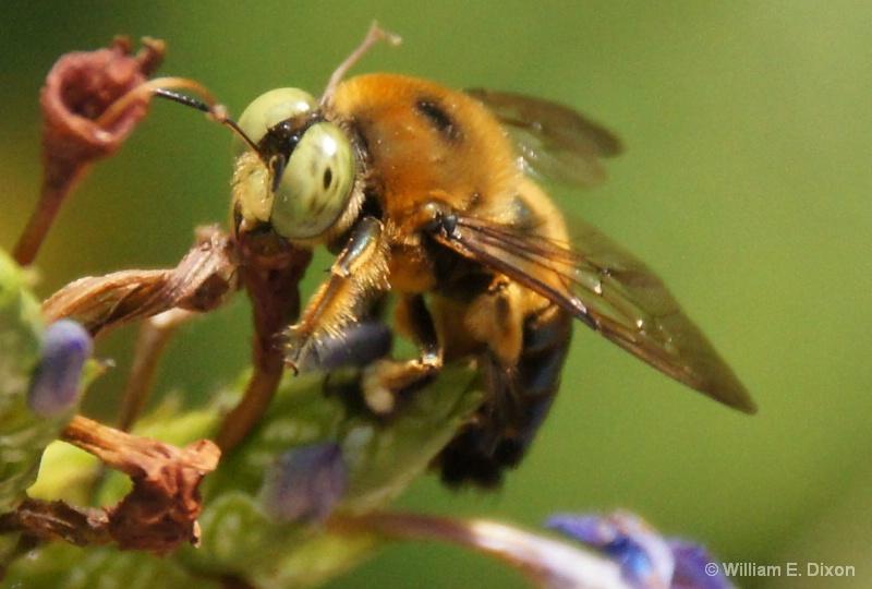 Bee Close Up - ID: 13763282 © William E. Dixon