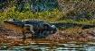 MT~Jumping Gator