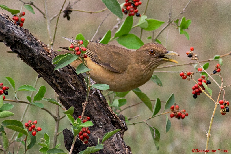 Clay-colored Thrush - ID: 13773964 © Jacqueline A. Tilles