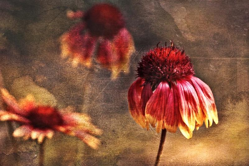 Cone Flowers - ID: 13777911 © Bill Currier