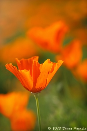 Glowing California Poppy