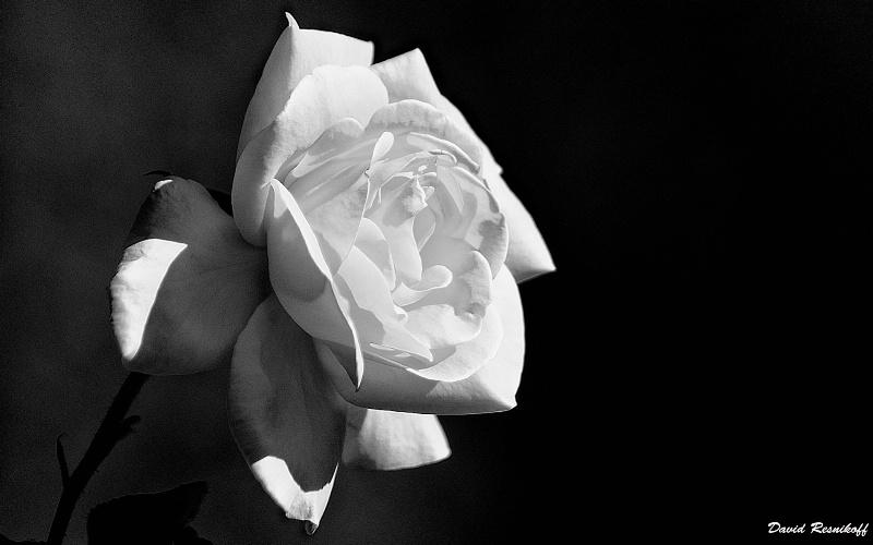 White Rose - ID: 13781756 © David Resnikoff