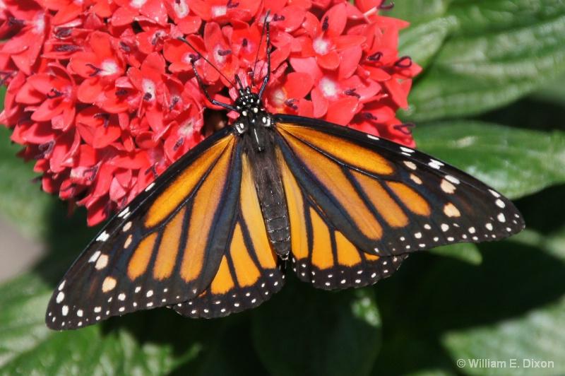 Monarch Butterfly - ID: 13789049 © William E. Dixon