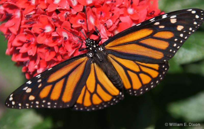 Monarch Butterfly - ID: 13789050 © William E. Dixon
