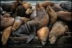 A Pod of Seals
