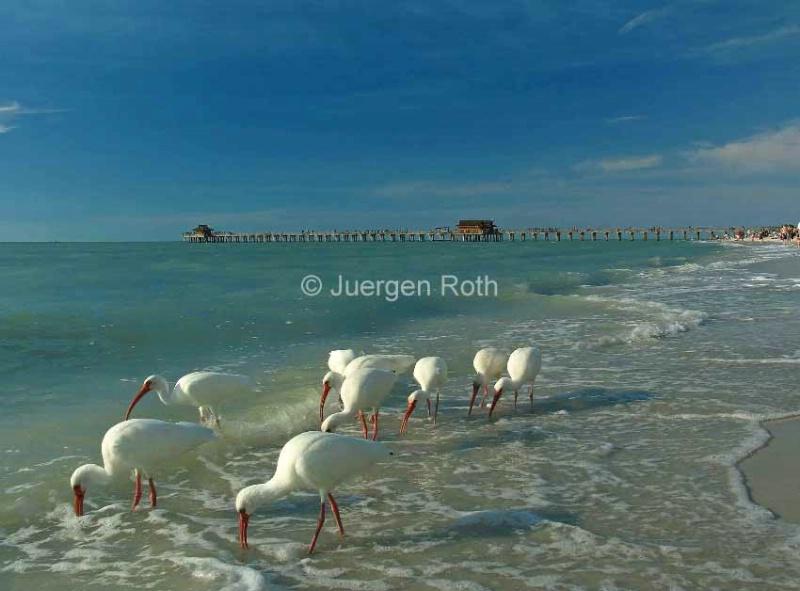White Ibis near Historic Naples Pier - ID: 13801986 © Juergen Roth