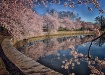Cherry Blossoms i...