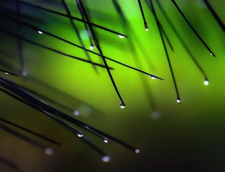 dew drops on pine needles