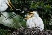 Great White Egret...