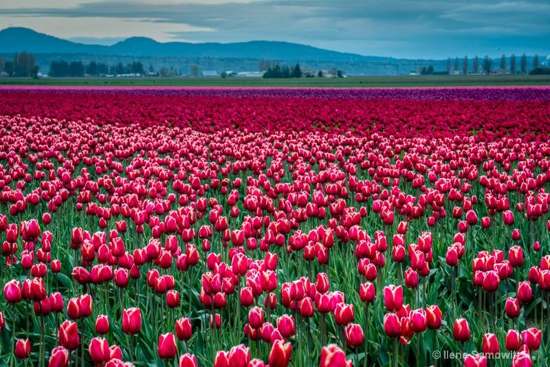 Skagit's Tulips