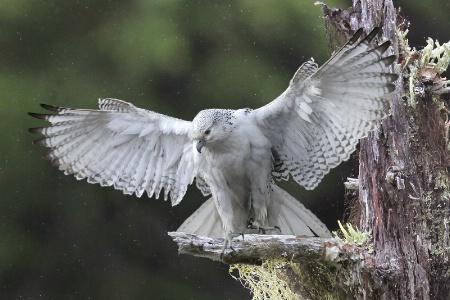 Arctic Hawk in Winter