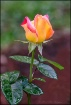 Young Peace Rose