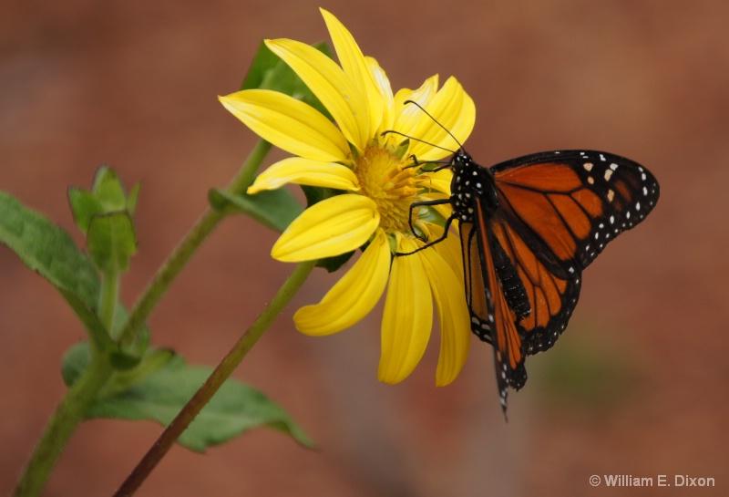Monarch Butterfly - ID: 13835649 © William E. Dixon