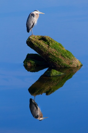 Great Blue Relfection
