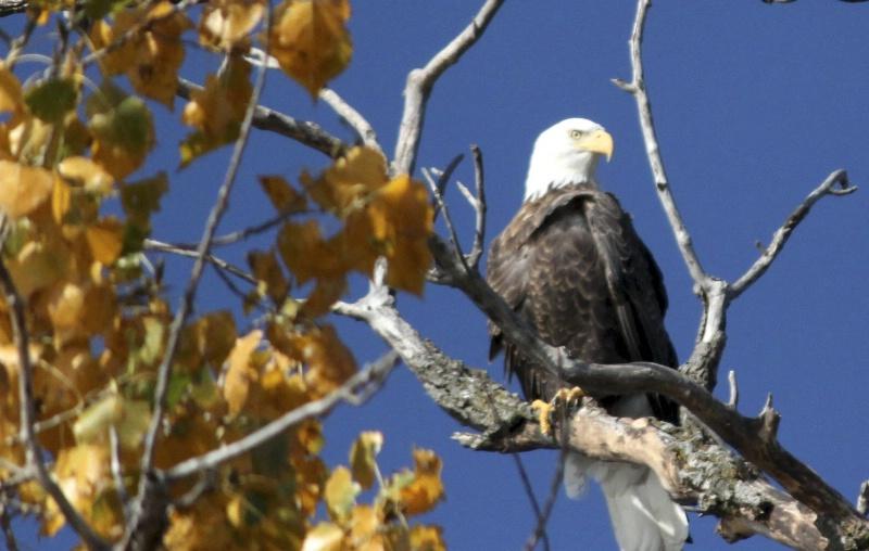 Eagle - ID: 13858625 © Sheryl K. Larson