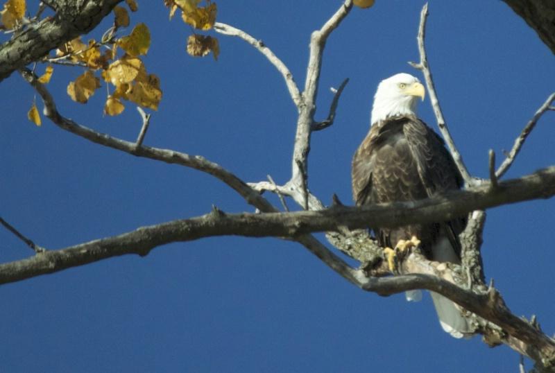 Eagle at BIg Island - ID: 13858627 © Sheryl K. Larson