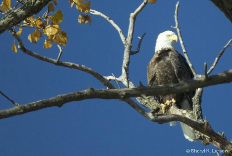 Eagle at Big Island - ID: 13858649 © Sheryl K. Larson