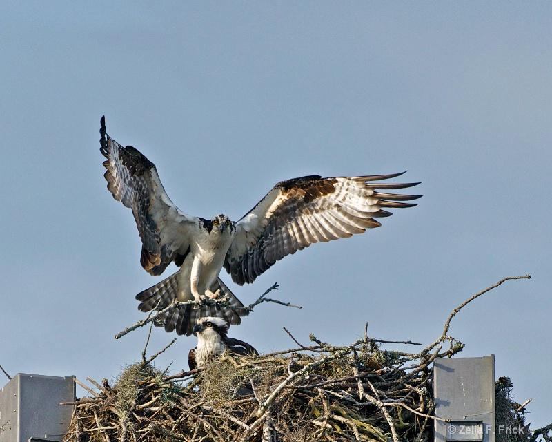 Osprey Nest Building - ID: 13866927 © Zelia F. Frick