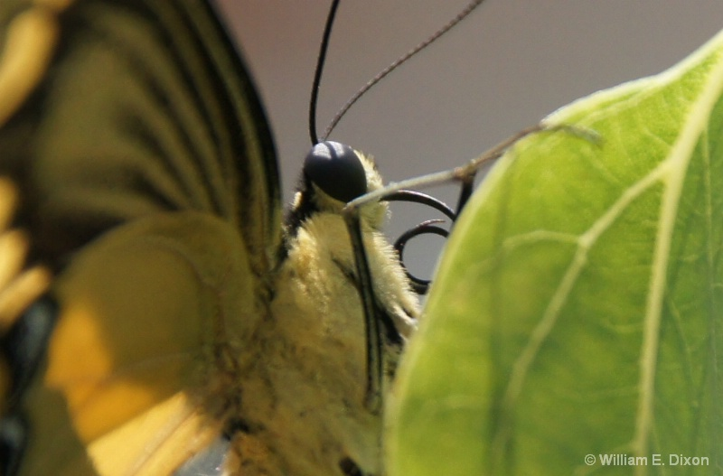 Extreme Close-Up Giant Swallowtail - ID: 13869953 © William E. Dixon