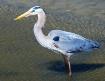 blue heron posing