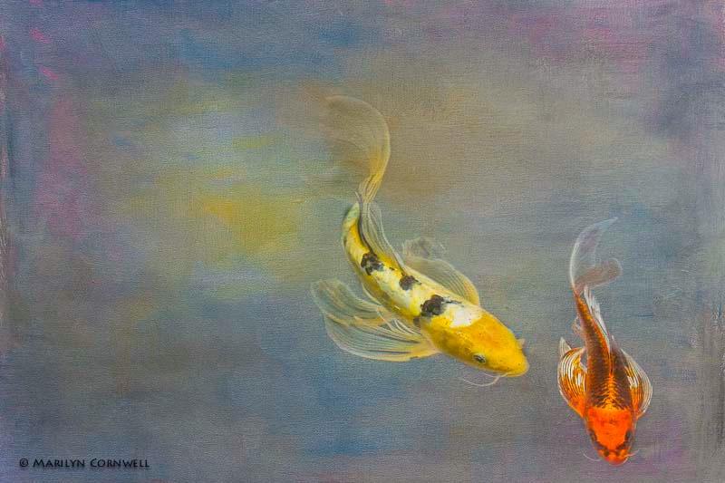 Koi, The Living Art - ID: 13875415 © Marilyn Cornwell