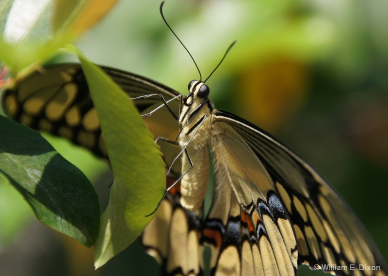 Giant Swallowtail Butterfly Upclose - ID: 13876253 © William E. Dixon