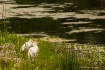 Cattle Egret Coup...