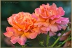 Hybrid Te Roses
